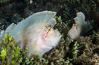 Leaf Scorpionfish pair rests in an algae patch<br /> <br /> Shot in Indonesia