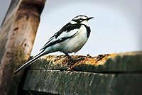 Bird with dramatic black and white plumage sitting on a wooden fence or wooden beam in Africa. Nature photography wall art. Fine art photography prints. Wildlife photography.