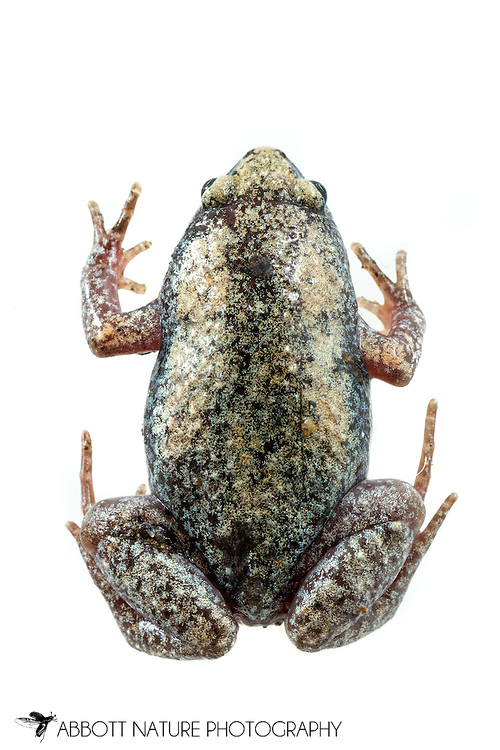 Eastern Narrow-mouthed Toad (Gastrophryne carolinensis)<br /> ALABAMA: Tuscaloosa Co.<br /> Tulip Tree Springs off Echola Rd.; Elrod<br /> 3-May-2016<br /> J.C. Abbott #2807 &amp; K.K. Abbott