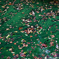 Autumn leaves in a stagnant pool of green algae.