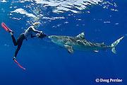 Stefanie Brendl videotapes tiger shark, Galeocerdo cuvier, North Shore, Oahu, Hawaii, USA ( Central Pacific Ocean ) MR 388