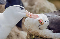 A pair of Black-browed albatross preening on New Island in the Falkland Islands.