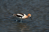The first of May as the American Avocet feeds in a marsh created by snow melt.