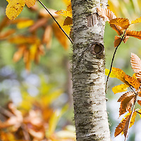 Chestnut leaves in the fall