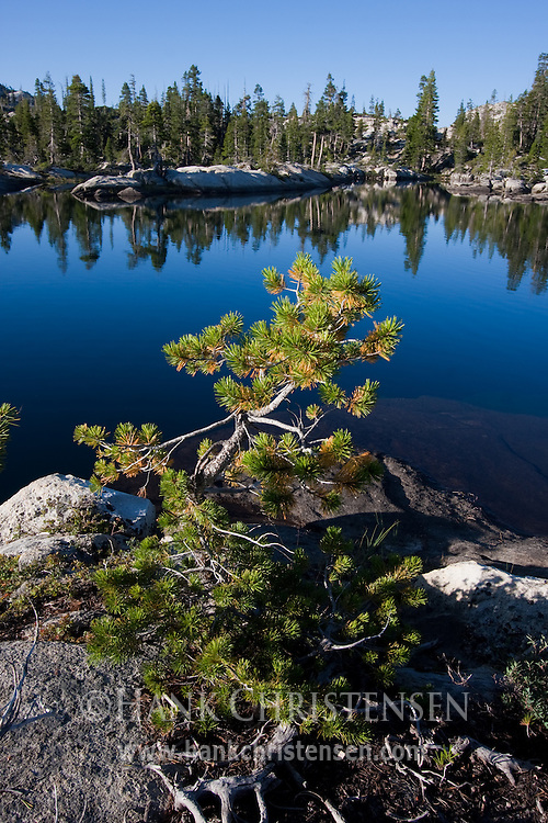 A gnarled pine overlooks the blue water of Boundary Lake, Yosemite National Park
