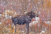 Moose in a snowstorm in Grand Teton National Park