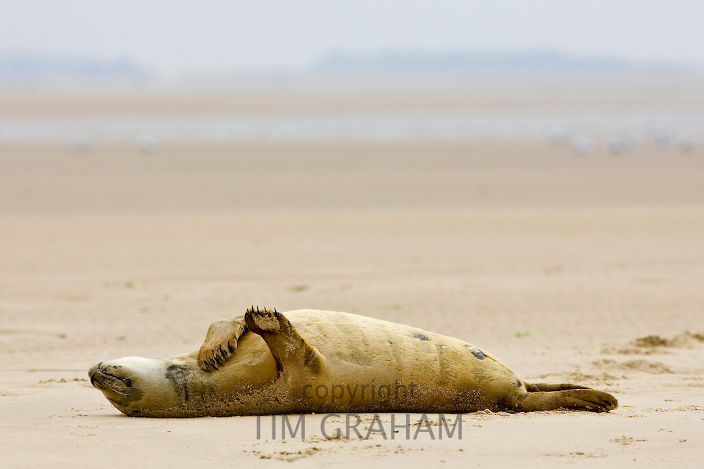 Common Grey Seal, Norfolk, United Kingdom RESERVED USE - NOT FOR DOWNLOAD -  FOR USE CONTACT TIM GRAHAM