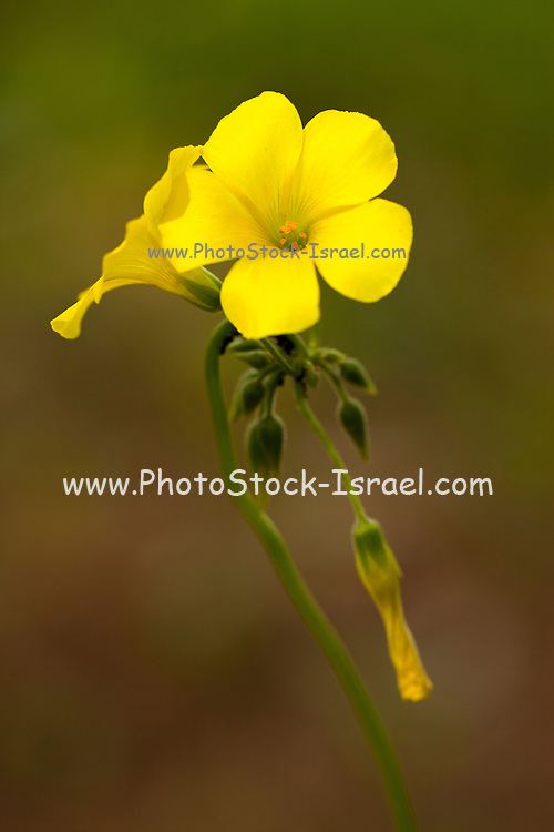 Oxalis pes-caprae (Bermuda buttercup, African wood-sorrel, Bermuda sorrel, Buttercup oxalis, Cape sorrel, English weed, Goat's-foot, Sourgrass, Soursob and Soursop;