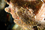 Commerson Frogfish, Antennarius commerson, (Latreille, 1804), Giant Frogfish, Carthaginian, Maui Hawaii