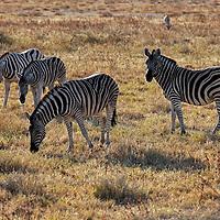 Africa, Namibia, Etosha. Burchell's Zebras in Etosha.