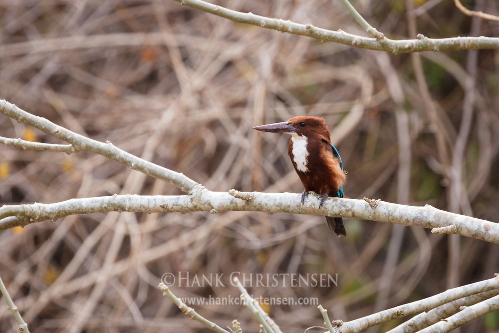 A white-throated kingfisher perches on a stout branch, Mudumalai National Park, India.