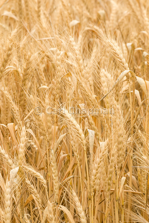 Heads of golden barley in a field before harvesting in rural Narraport, Victoria, Australia. <br /> <br /> Editions:- Open Edition Print / Stock Image