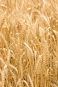 Heads of golden barley in a field before harvesting in rural Narraport, Victoria, Australia.