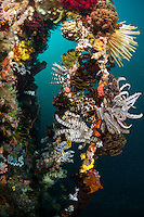 Colorful Feather Stars cascade off of reef wall...Shot in Indonesia