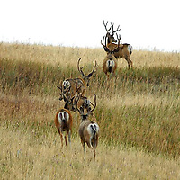 mule deer velvet summer bucks bachlor group in native prarie grass, walking away, montana,