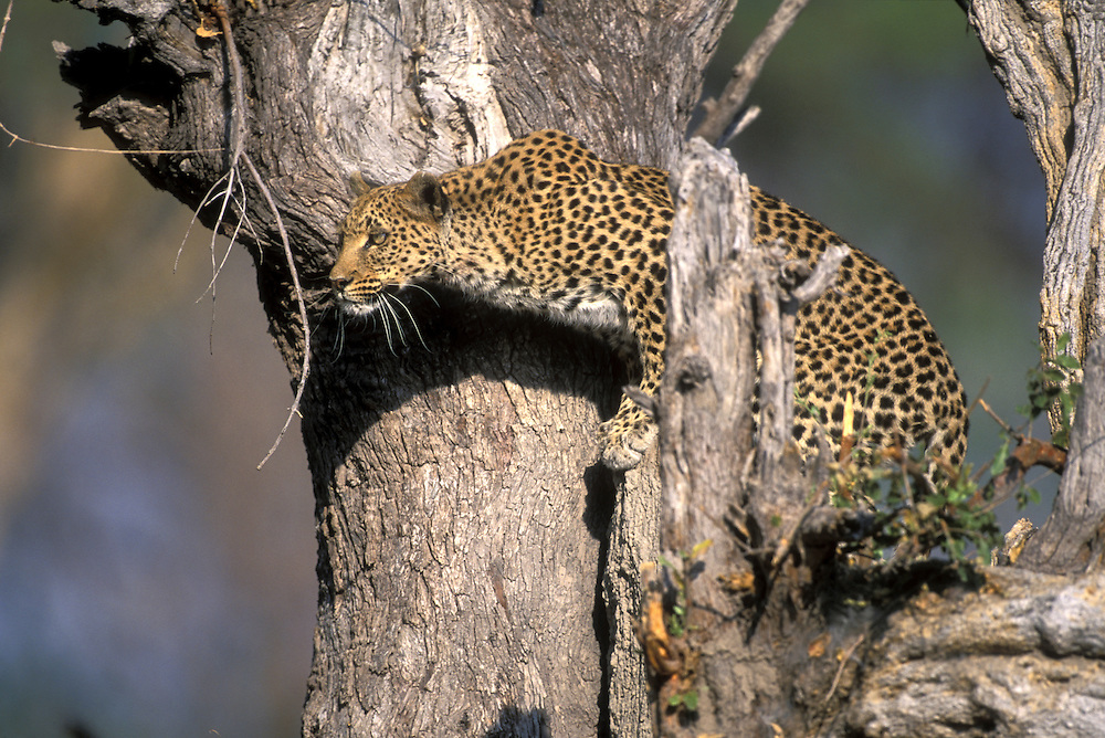 Botswana, Moremi Game Reserve, Adult Female Leopard (Panthera pardus) watches nearby impala from tree near Khwai River