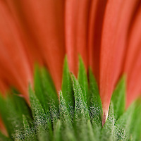 Close-up of a gerber daisy back side.
