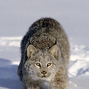 Canada Lynx, (Lynx canadensis) Montana. Stalking in snow.Winter. Captive Animal.