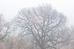 Misty outline of sycamore tree on the farm at Perch Hill. Acer pseudoplatanus