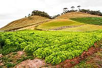 Plantação de alface. Rancho Queimado, Santa Catarina, Brasil. / Lettuce plantation. Rancho Queimado, Santa Catarina, Brazil.