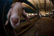 Israel, Galilee, Metzpe Hayamim, A wide angle close up of a goat in a pen