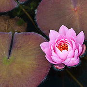 NYMPHAEA 'PINK RIBBON'