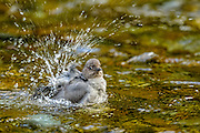 American Dipper - Cinclus mexicanus Bathing with a big splash of water
