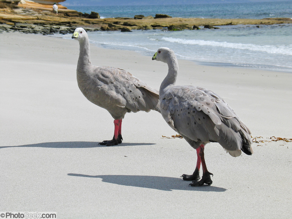 "Among the world's rarest geese species, Cape Barren Geese (Cereopsis novaehollandiae) walk a beach of Maria Island National Park, Tasmania, Australia. Ability to drink salty or brackish water allows them to live on islands year-round. Cape Barren Geese were introduced to Maria Island National Park in 1968 from Bass Strait Islands to help ensure their survival as a species. Now they thrive and are no longer endangered. They naturally range across the coasts and islands of southern Australia. These bulky geese have grey plumage with black spots. The tail and flight feathers are blackish and the legs are pink with black feet. The short, decurved black bill and green cere gives it a peculiar expression. The Cape Barren Goose weighs 3 to 7 kg (6.6 to 15 lb) and has a 150 to 190 cm (59 to 75 in) wingspan; males are somewhat larger than females. It feeds by grazing and rarely swims. As Australia's only native goose, it was first sighted on Cape Barren Island (second largest of the Furneaux Group of 52 islands northeast of Tasmania). Cape Barren Island has the distinction of being ""the largest island of the largest island (Flinders Island) of the largest island (Tasmania) of the largest island (Australia)."""