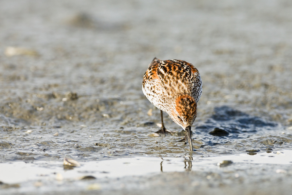 Migrating Western Sandpipers stop by Hartney Bay in the Copper River Delta region of Prince William Sound to refuel before continuing their journey to the arctic to breed. Southcentral. Spring. Morning.