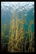 Eurasian Water Milfoil<br />