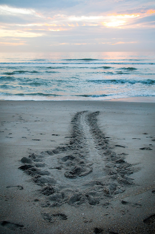 Tracks of a sea turtle that crawled onto the beach to lay her eggs just before dawn but then aborted the mission and made a u-turn back to sea. Human footprints also visible in sand. Indialantic, Florida