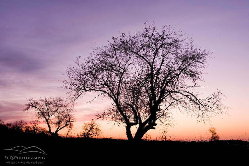 Apple trees silhouetted against a sunrise sky at the Surrenden Farm in Groton, MA.