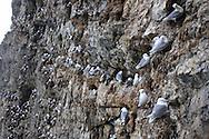 Kittiwakes, many of them nesting, perch on narrow ledges in the sheer cliffs of Blomstrand island, Kongsfjorden, Svalbard.