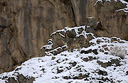 LADAKH, INDIA: Male snow leopard looks back while standing on snow covered rocks in Hemis National Park.