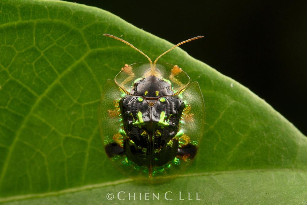 Tortoise Beetle (Thlaspidosoma cf. dohrni). Sabah, Malaysia.