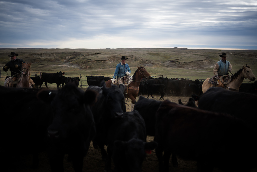 Cowboys dodge cattle while helping sort cows from calves on land owned by a grazing association west of Meadow, SD on October 8, 2017. Grazing associations provide a way for multiple ranchers to defray the costs of land owning and usage for grazing cattle and on occasion provide access to national grasslands and grazing areas.