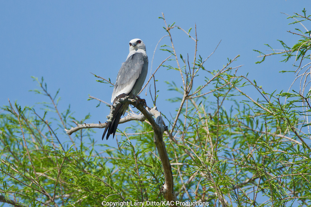 Mississippi Kite (Ictinia mississippiensis) perched