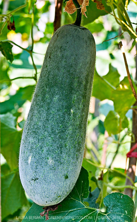 Asian long melon on the vine