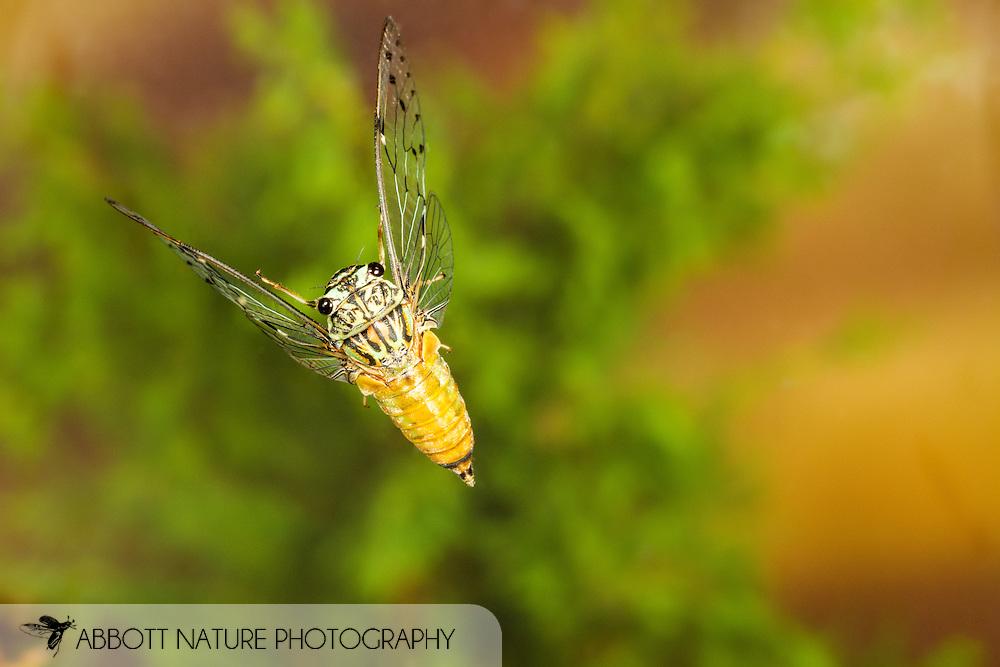 Hieroglyphic Cicada (Neocicada hieroglyphica) flying<br /> United States: Alabama: Tuscaloosa Co.<br /> Tulip Tree Springs off Echola Rd.; Elrod<br /> 15-Jun-2016<br /> J.C. Abbott #2832 &amp; K.K. Abbott