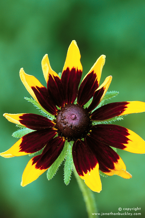 Rudbeckia rustikana. Maybe should be Rudbeckia hirta Rustic Dwarf
