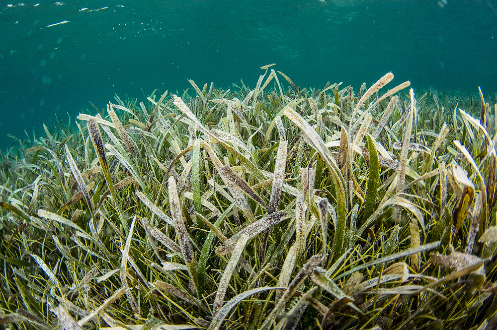 Turlte grass, Thalassia testudinum, thrives in the pristine shallows of the barrier reef in Belize, Central America.