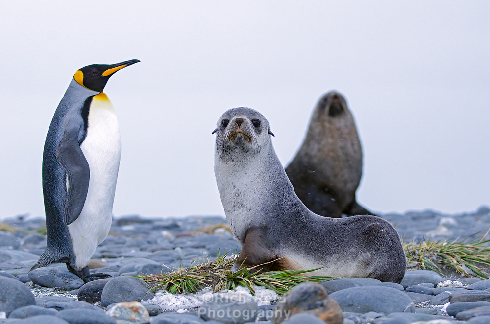 King penguin, Aptenodytes patagonicus and female and male fur seal, Arctocephalus gazella at Salisbury Plain on South Georgia Island.