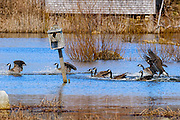 Canada geese landing in the pond