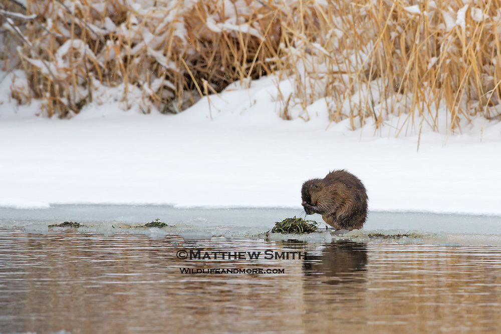Beaver along a frozen Creek side