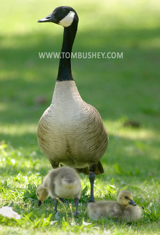 Middletown, N.Y. - A Canada goose stands guard over two goslings in the grass at Fancher-Davidge Park on May 4, 2006. ©Tom Bushey