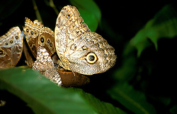 Costa Rica: Butterflies in Tropical Rain Forest..Photo #: costar105..Photo copyright Lee Foster, 510/549-2202, lee@fostertavel.com, www.fostertravel.com.