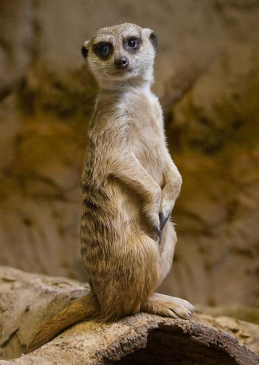 Everyone loves a Meerkat!
