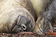 "Southern elephant seals - ""Head to Tail"""