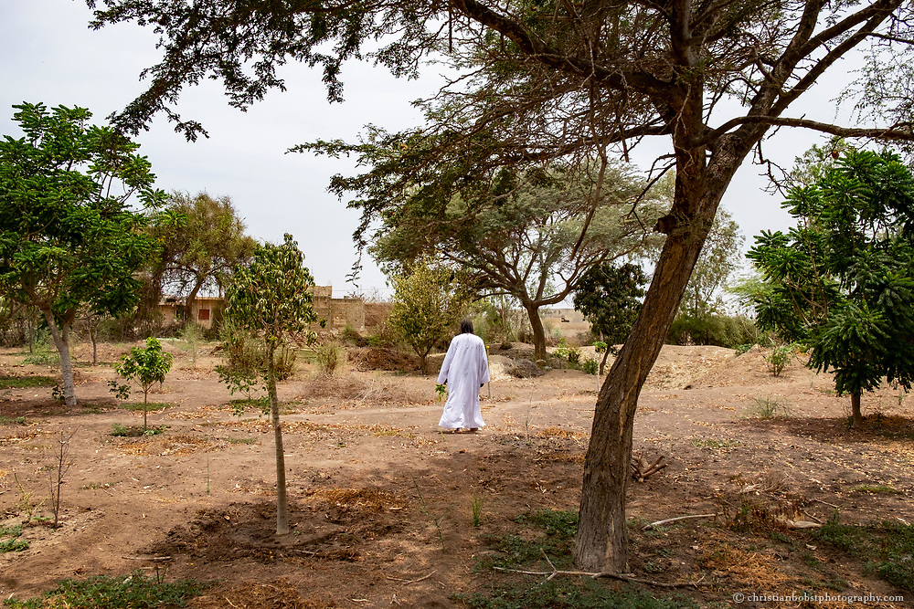 "Marabout Serigne Cheikh Seye walks the fields of ""Taw Feekh,"" where he and his Baye Fall disciples are growing numerous trees,  plants and herbs for nutrition and healing."