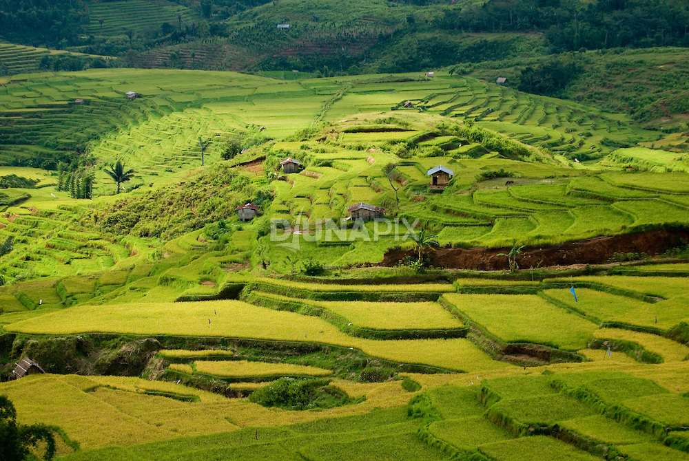 Rice fields close to Liang Bua cave, Manggarai, Flores